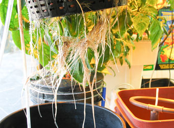 HydroRush White Roots Homegrown Garden Supply