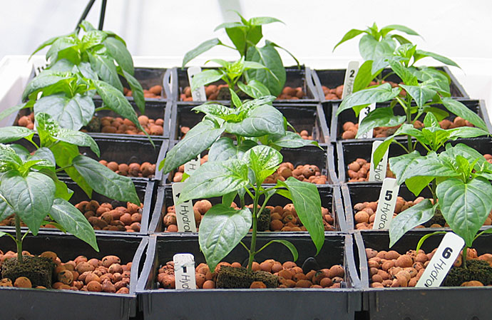 HydroRush Pepper Plants with HydroRush