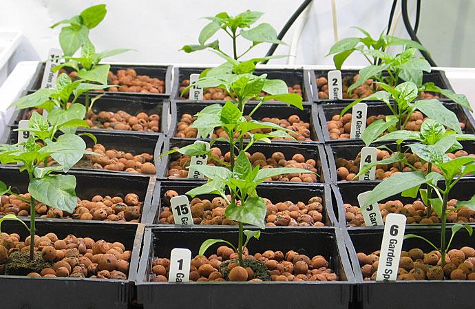 HydroRush Pepper Plants without HydoRush