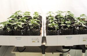 HydroRush Day 23 Pepper Plants Grow in soil