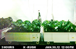 HydroRush Day 30 time lapse camera pepper plants