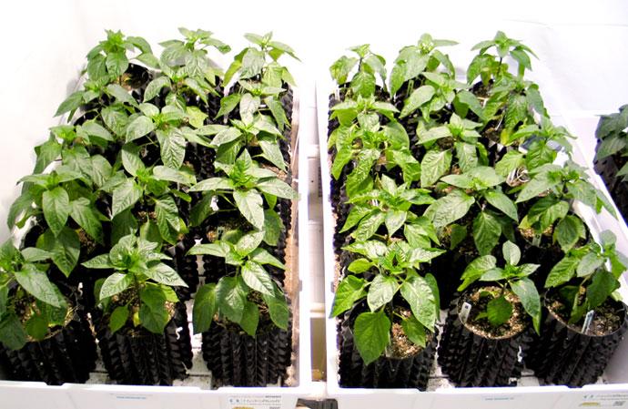 HydroRush Day 24 Pepper Plants in soil