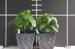 Day 34 Hydroton Side by Side pepper plants