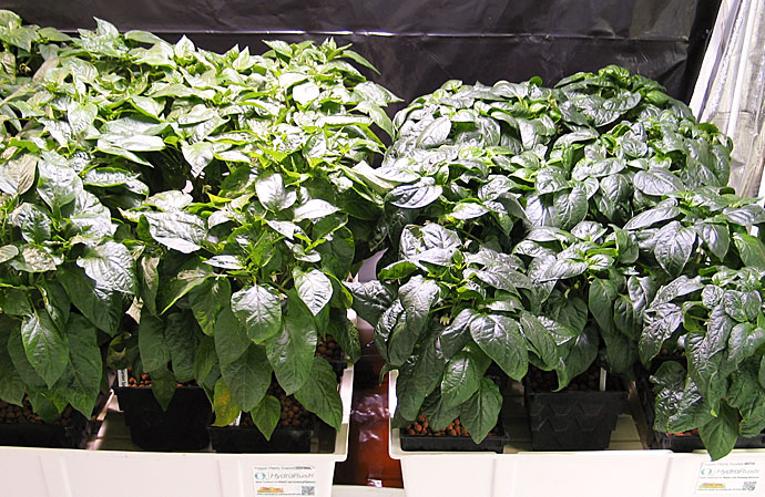 HydroRush Day 54 Pepper Plants in Hydroton