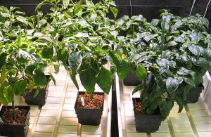 HydroRush Day 100 Peppers